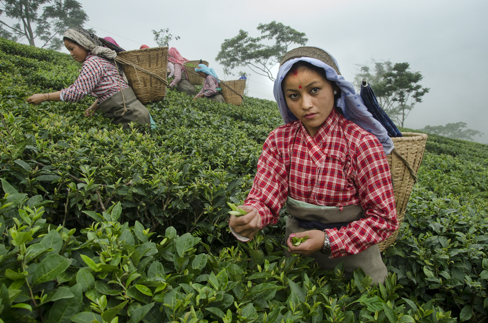 Tea Plantations in Darjeeling
