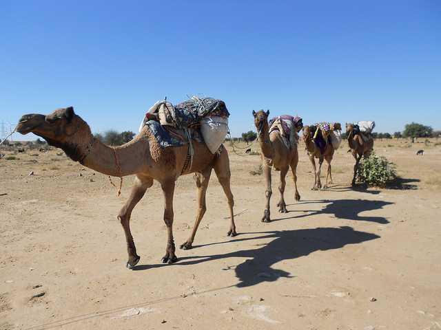 camels in jaisalmer