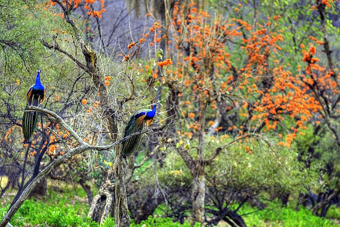 Monsoon Safari inSariska Tiger Reserve