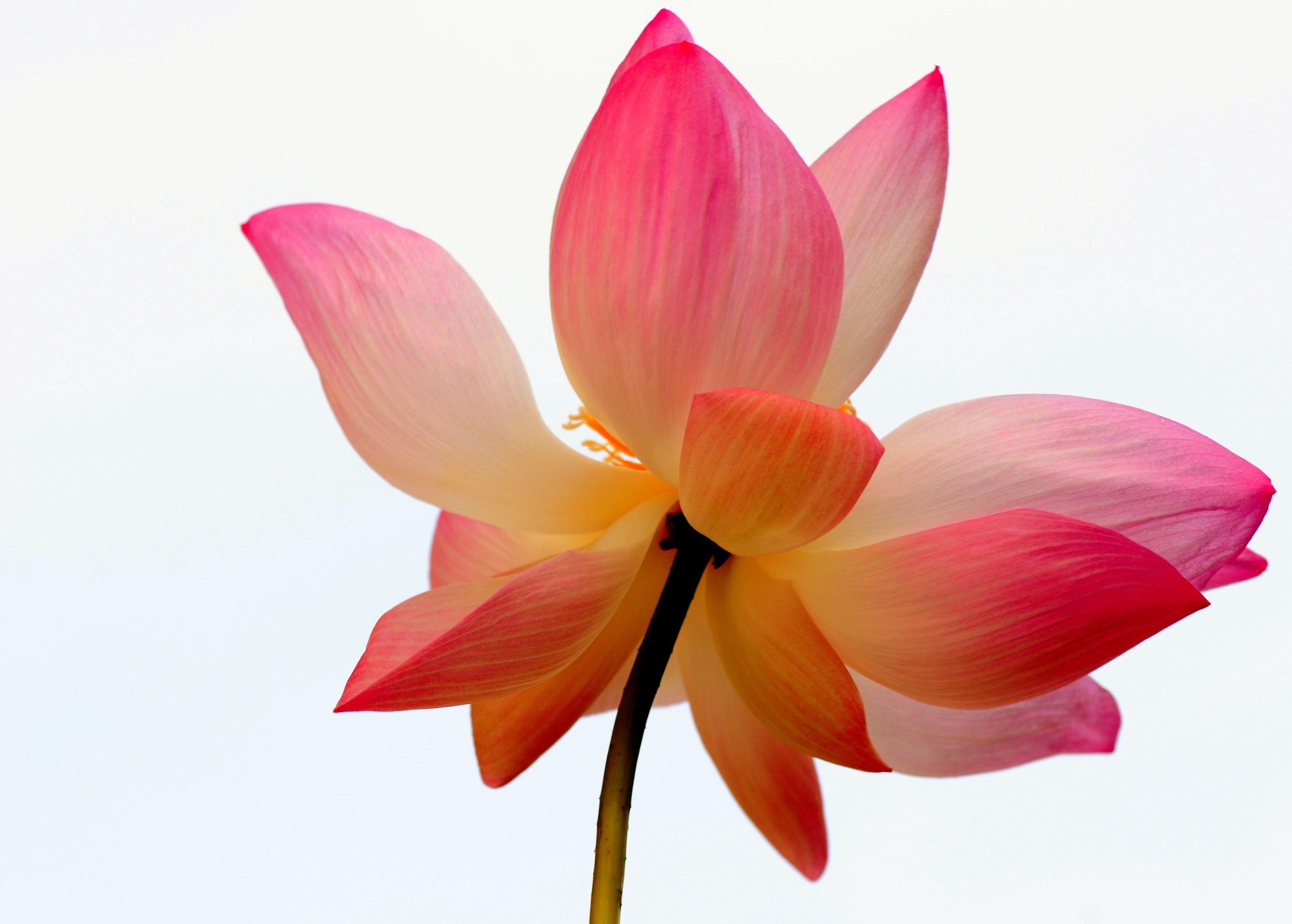 Orange flower and lotus