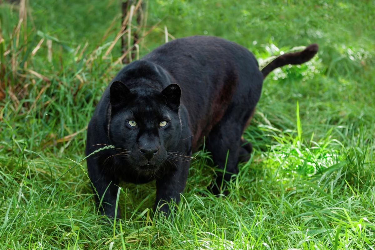Black Panther, Odisha