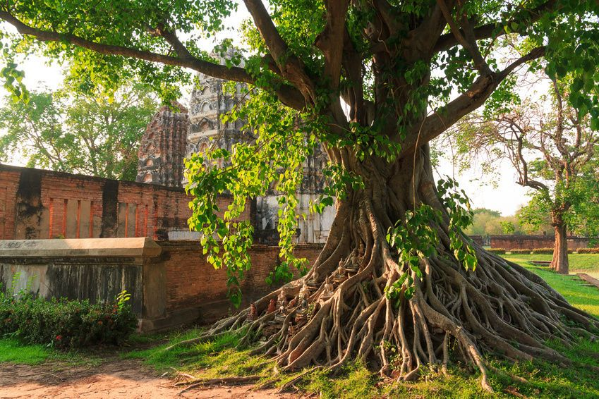 Legend of Bodhi Tree
