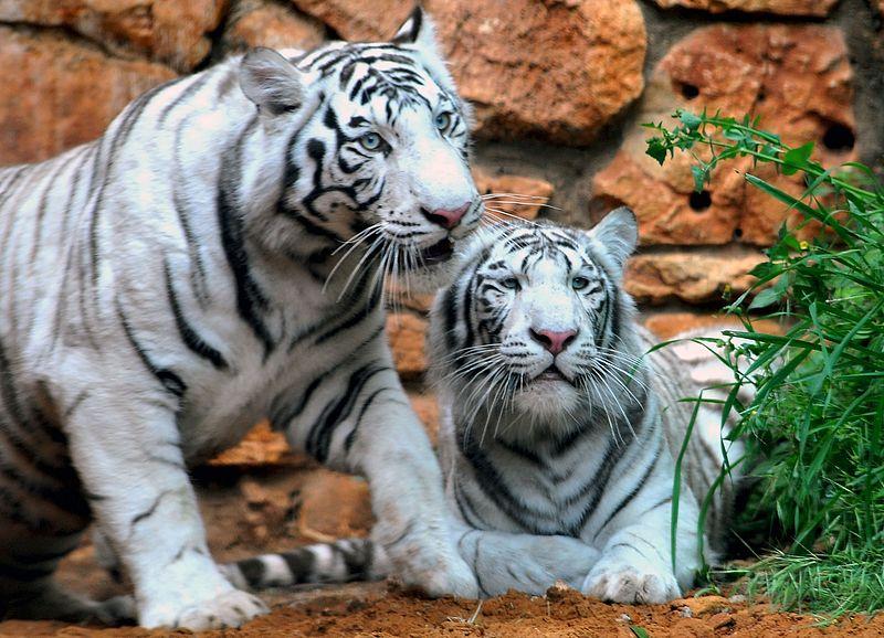 White Tigers, Odisha