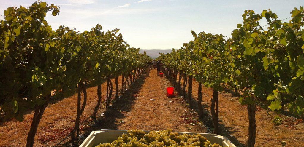 Vineyards in India