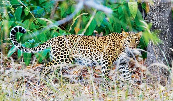 Leopardo en el Parque Nacional Pench, Madhya Pradesh, India