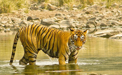 Spotting Tigers in Bahartpur, Rajasthan