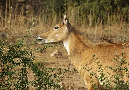 Antelope at Sariska