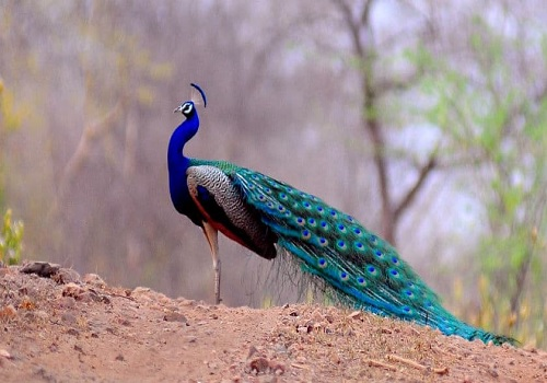 Peacock at Sariska