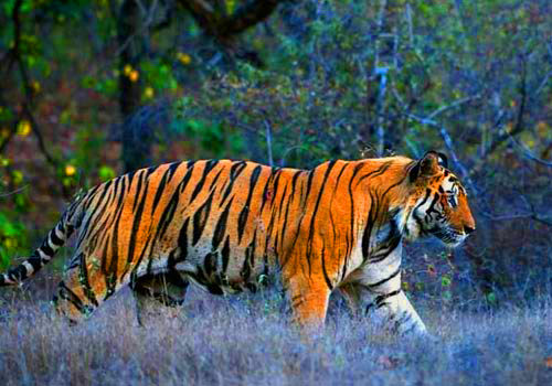 Groups of Tigers in India