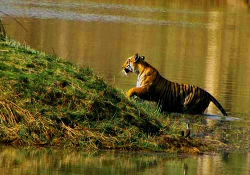 Tigers in  Tadoba National park