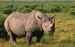 Wild Rhino in Kaziranga National Park